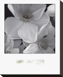 Narcissi for the Wedding II Stretched Canvas Print by Richard Sutton