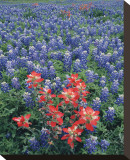 Bluebonnets II Stretched Canvas Print by Danny Burk