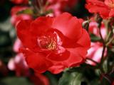 Ryuji Adachi - Roses 2 - Fotografik Baskı