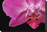 Phal IX Stretched Canvas Print by Danny Burk