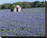 Bluebonnets Shed Stretched Canvas Print by Danny Burk