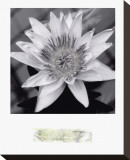 Charming Waterlily Stretched Canvas Print by Richard Sutton
