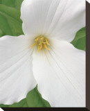 Trillium IX Stretched Canvas Print by Danny Burk