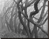 Potato Creek Gnarled Trees Black and White Stretched Canvas Print by Danny Burk