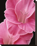 Gladiolus V Stretched Canvas Print by Danny Burk