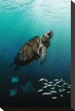 Sea Turtle Rising Stretched Canvas Print by Melinda Bradshaw