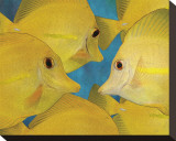 Yellow Tang II Stretched Canvas Print by Melinda Bradshaw