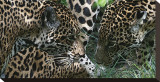 Jaguar Stretched Canvas Print by Melinda Bradshaw