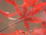 Red Leaves Photographic Print by Ryuji Adachi
