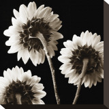 Sunflowers Trio Stretched Canvas Print by Dan Magus