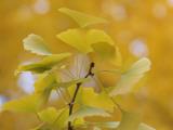 Ginkgo Fotografie-Druck von Ryuji Adachi
