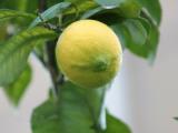 A Lemon Photographic Print by Ryuji Adachi