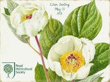 Lillian Snelling White Peony Tin Sign by Lillian Snelling