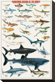 Dangerous Sharks Stretched Canvas Print