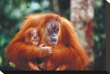 Orangutan and Baby Stretched Canvas Print