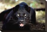 Black Panther Close-Up Reproduction transférée sur toile