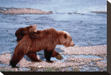 Brown Bear Carrying Cub in Alaska Stretched Canvas Print