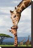 Giraffe Kissing Baby Impressão em tela esticada