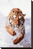 Tiger Running Through Water Stretched Canvas Print