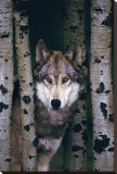 Gray Wolf Stretched Canvas Print