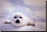 Seal Pup Stretched Canvas Print