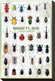 Beetles Stretched Canvas Print
