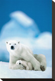 Polar Bear and Baby Stretched Canvas Print