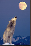 Gray Wolf Howling at Moon Stretched Canvas Print