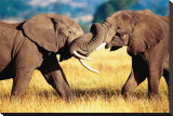 African Elephants Sparring Stretched Canvas Print