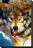 Gray Wolf Close-Up Trykk på strukket lerret