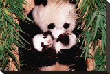 Panda Mother and Baby Stretched Canvas Print