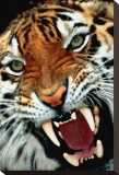 Bengal Tiger Close-Up Stretched Canvas Print