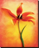 Tulip II Stretched Canvas Print by Chris Zalewski