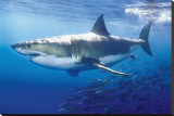 Great White Shark Stretched Canvas Print