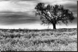 Tree in a Field, Severville, Tennessee Stretched Canvas Print