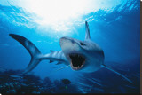 Shark Stretched Canvas Print