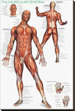 Muscular System Stretched Canvas Print