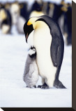 Penguin, Maternal Moment Stretched Canvas Print