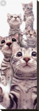 American Shorthair Stretched Canvas Print by Yoneo Morita