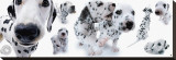 Dalmatians Stretched Canvas Print by Yoneo Morita