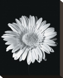 Gerbera Stretched Canvas Print