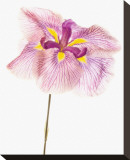 Iris Ensata Azuma-Kagami Stretched Canvas Print by Harold Davis