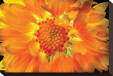 Gaillardia Lit From Behind Stretched Canvas Print by Harold Davis