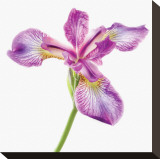 Unbearable Lightness of Iris Leinwand von Harold Davis