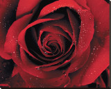 Red Rose with Dew Stretched Canvas Print
