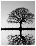 Standing Oak Tree Posters