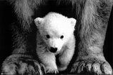 Polar Bears Photo
