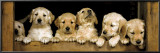 Golden Retrievers Puppies Posters