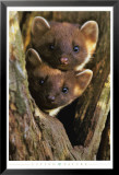 Pine Martens Prints by Andy Rouse