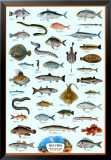 Seefische, Englisch Poster